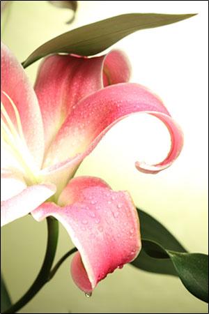 لیلیوم - گل